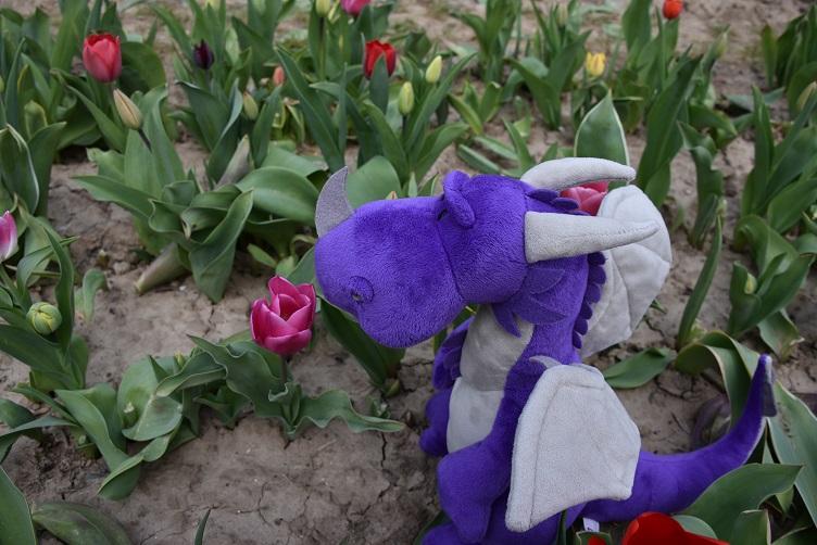 Violetta sucht violette Tulpe