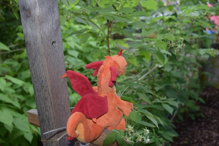 Paffina sucht in der Himbeerplantage