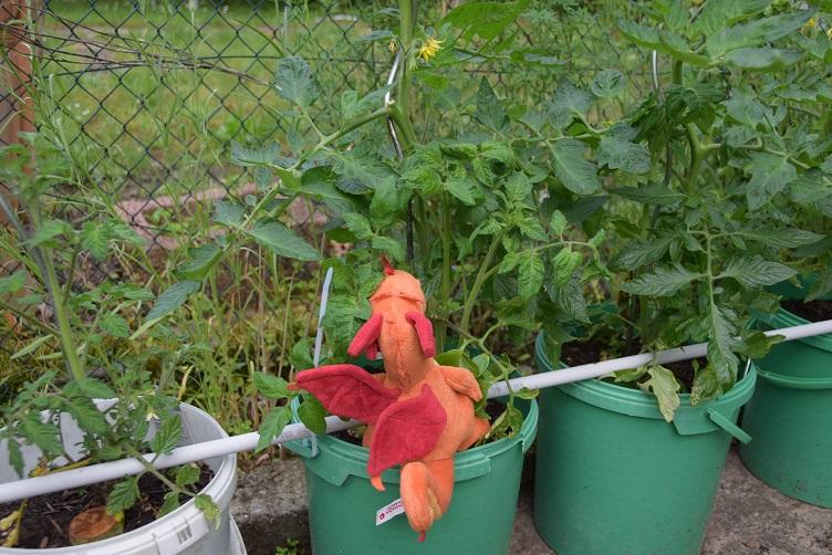 Paffina sucht bei den Tomaten