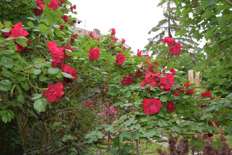 Flämmchen versteckt sich in den Rosen