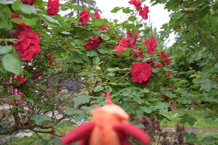 Paffina findet Flämmchen in den Rosen