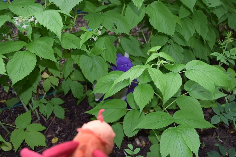 Paffina findet Violetta in der Himbeerplantage