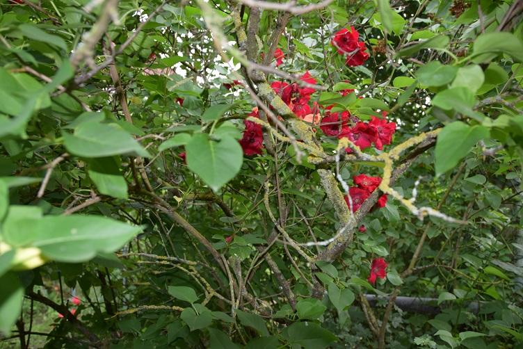 Paffina hat sich bei den Rosen versteckt