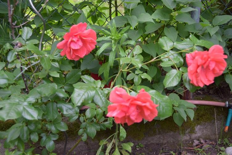 Flämmchen hat sich ebenfalls hinter Rosen versteckt