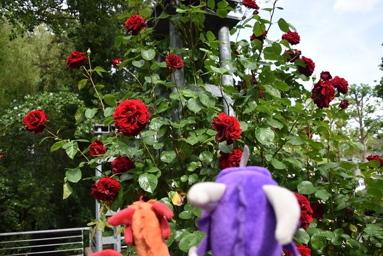 Paffina und Violetta bewundern Rosen