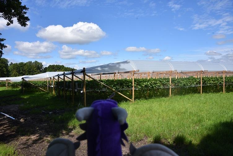 Violetta schaut auf Gewächshäuser mit Erdbeeren