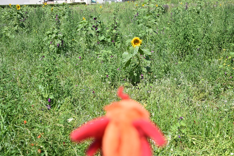 Paffina und die Sonnenblume