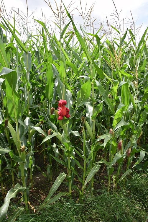 Flämmchen im Maisfeld