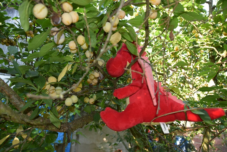 Rosa im Mirabellenbaum