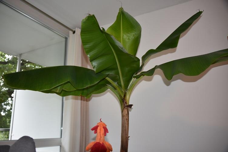 Paffina bewundert die Bananenstaude