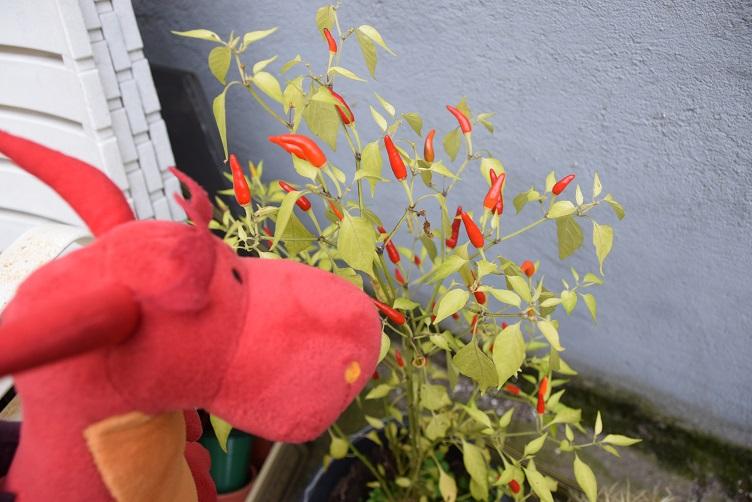 Chilli mit Chillipflanze